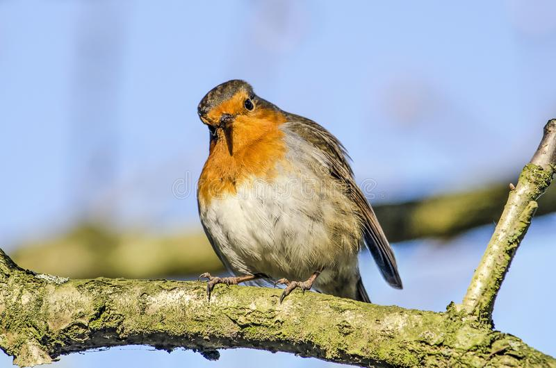 ??Robin 免版税图库摄影