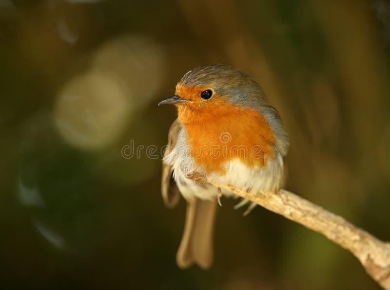Robin stock afbeelding