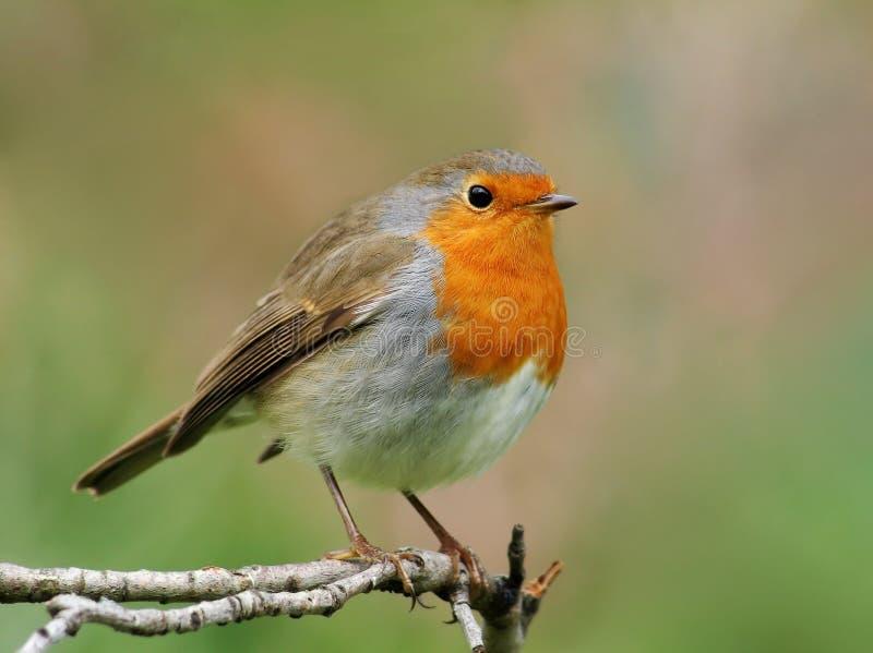 Robin royalty-vrije stock fotografie