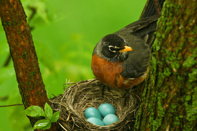 Download Robin stock image. Image of bird, feathers, nature, tree - 14205591