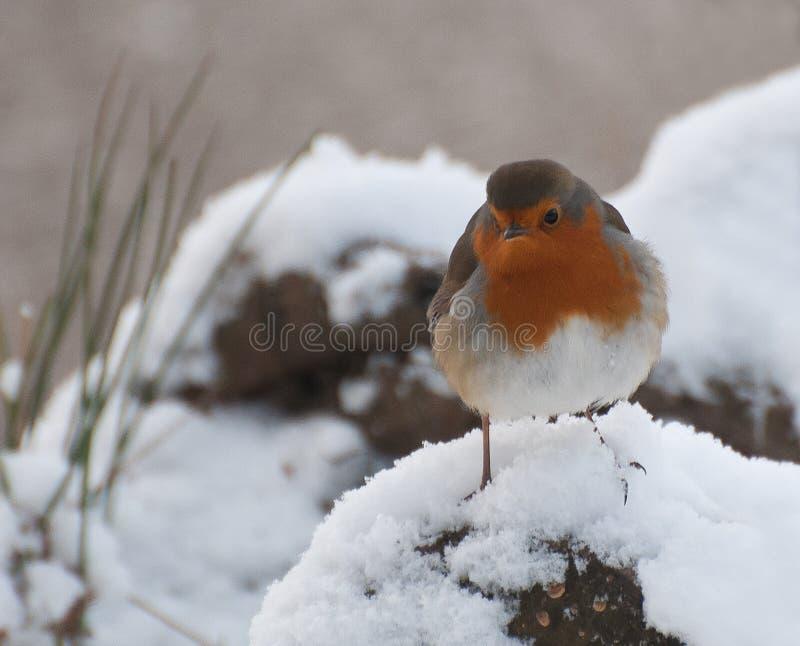 Robin royalty-vrije stock afbeeldingen