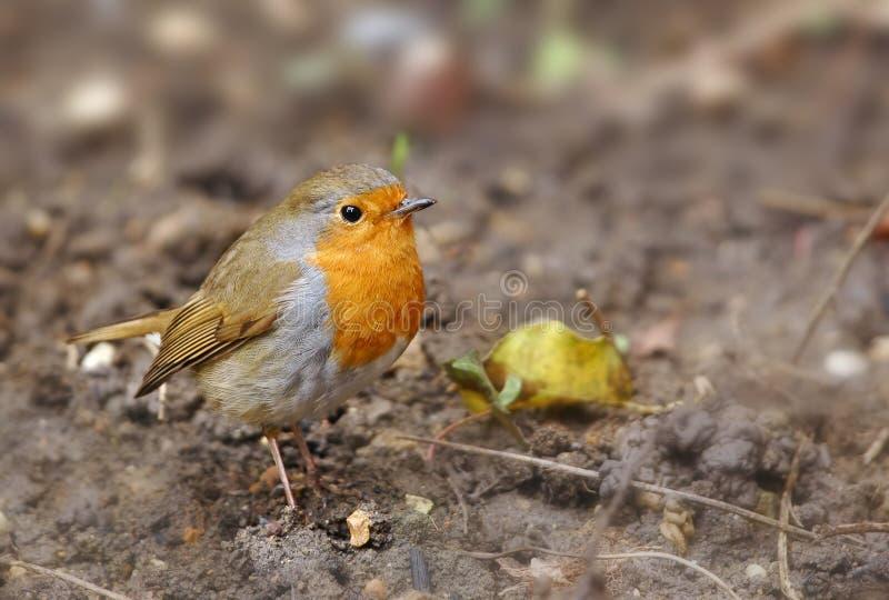 Download Robin stock photo. Image of rubecula, species, orange - 18614976