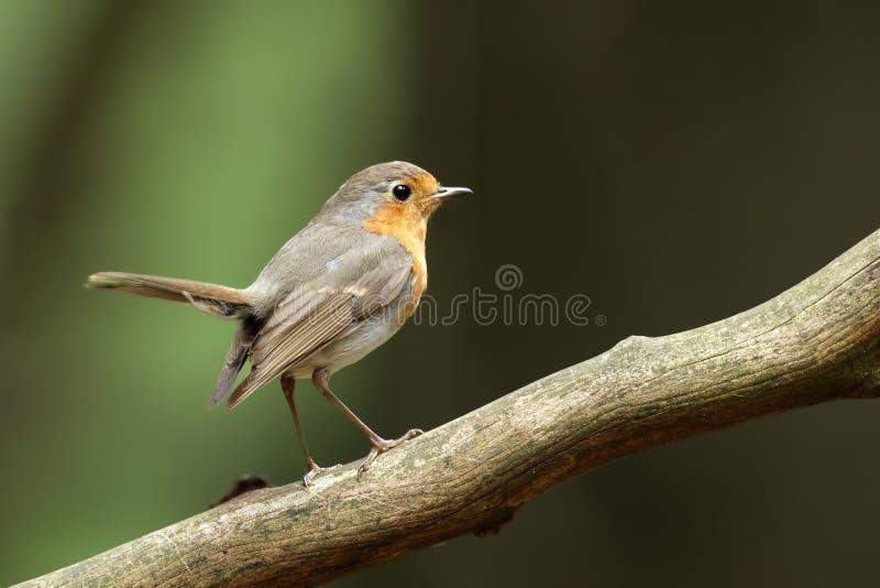 Download Robin stock image. Image of bird, sing, chest, orange - 20592401