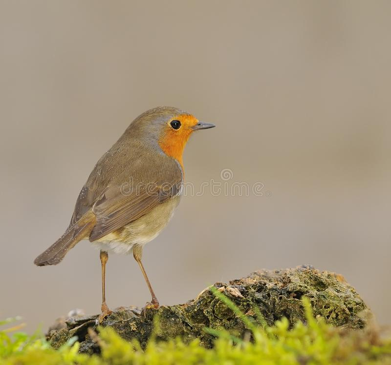 Download Robin. stock photo. Image of bill, open, ornithology - 22933036
