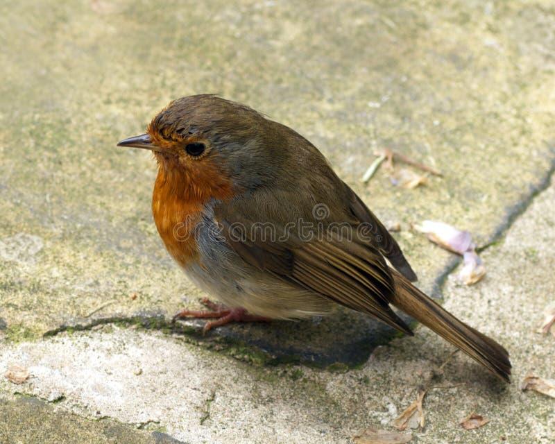 Download Robin stock photo. Image of erithacus, garden, wildlife - 25247654