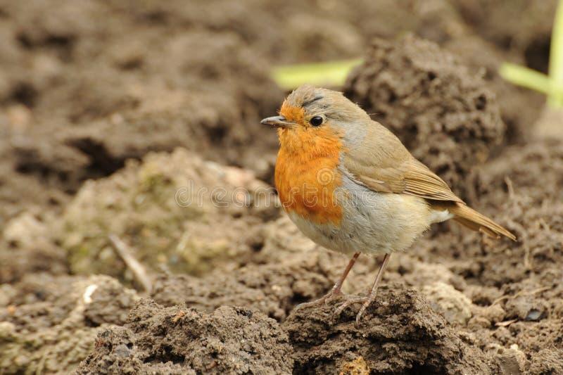 Robin stock afbeeldingen