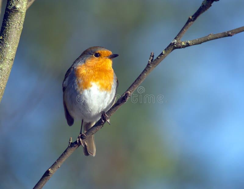 Robin стоковое фото