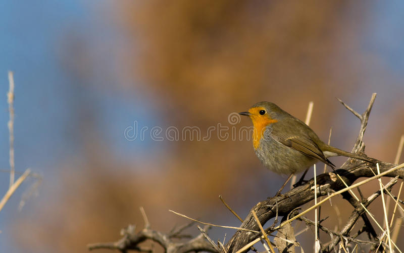 Download Robin stock photo. Image of magpie, barb, baby, falcon - 26733912