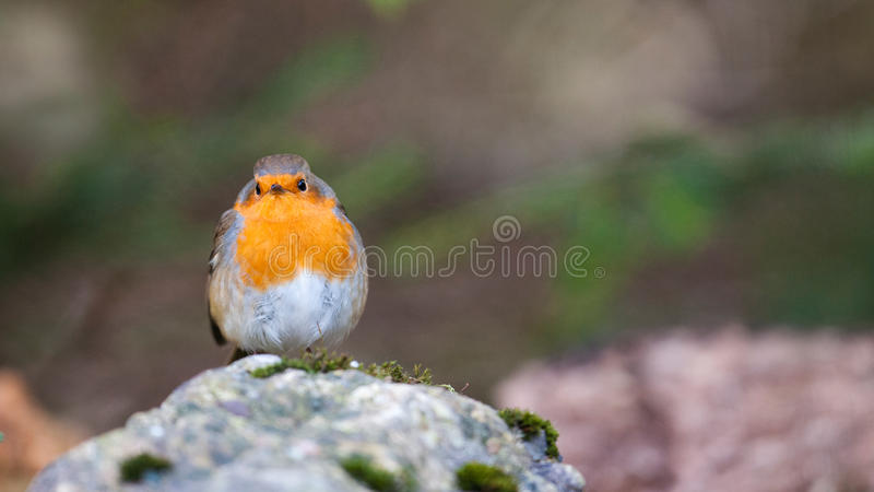 Download Robin stock image. Image of fine, branch, eyes, looking - 27645067