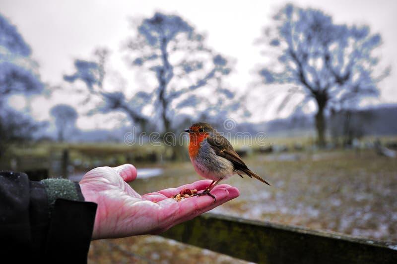Download Robin stock foto. Afbeelding bestaande uit sneeuw, wild - 29510024