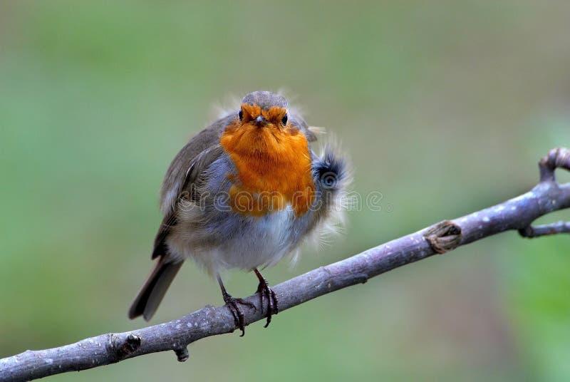 Robin lizenzfreies stockfoto