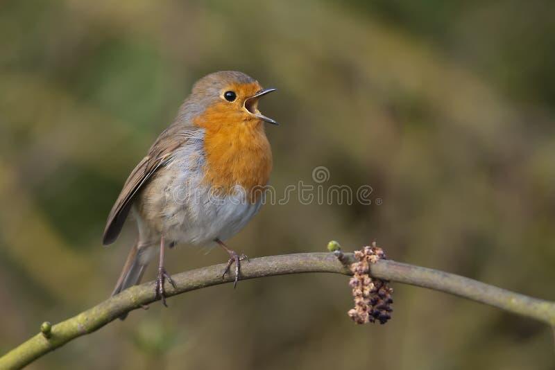 Robin immagini stock