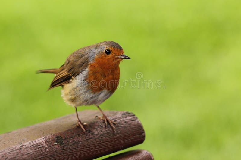 Robin stockbilder