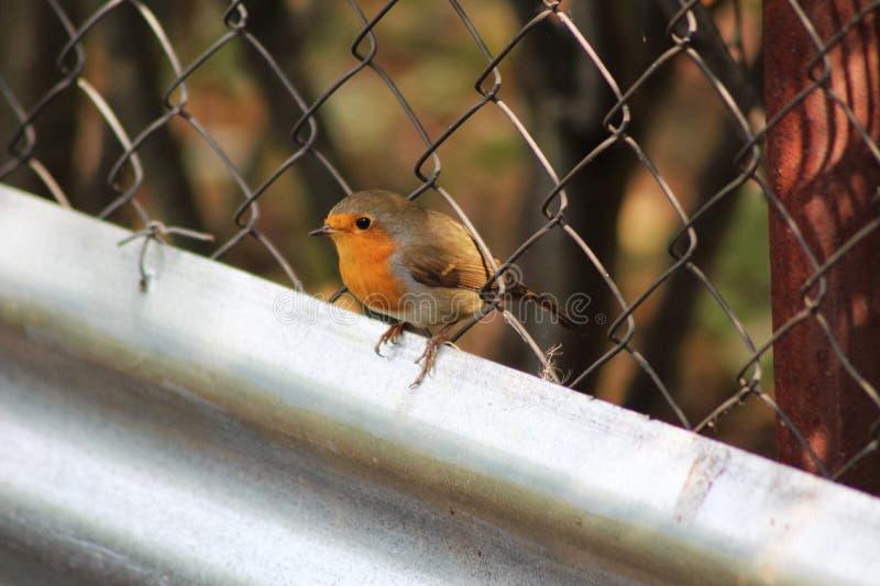 Robin στοκ φωτογραφίες με δικαίωμα ελεύθερης χρήσης
