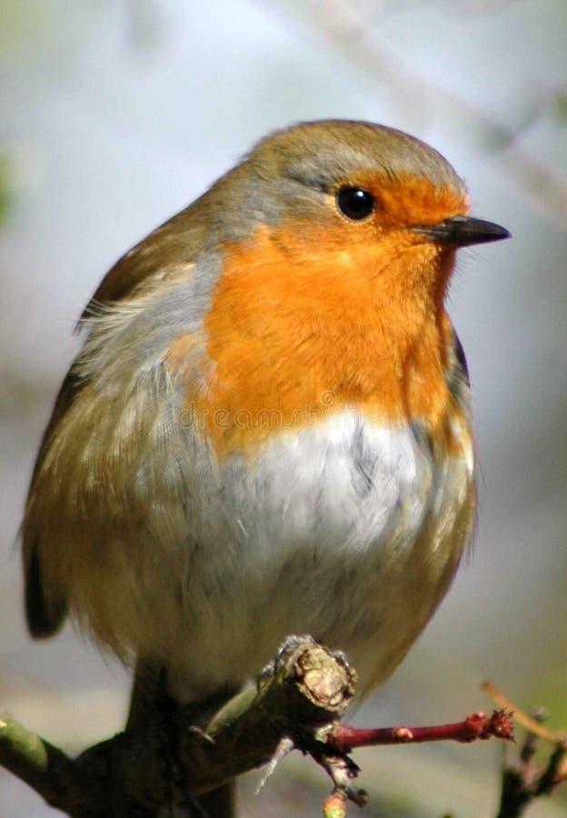 Robin lizenzfreies stockbild