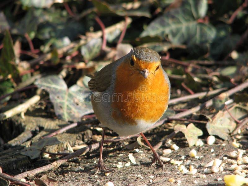 Robin royalty-vrije stock afbeelding