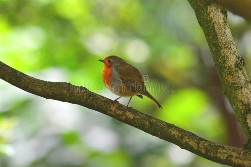 Robin στοκ φωτογραφία με δικαίωμα ελεύθερης χρήσης