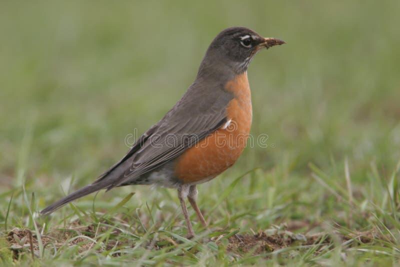 Robin fotografia stock
