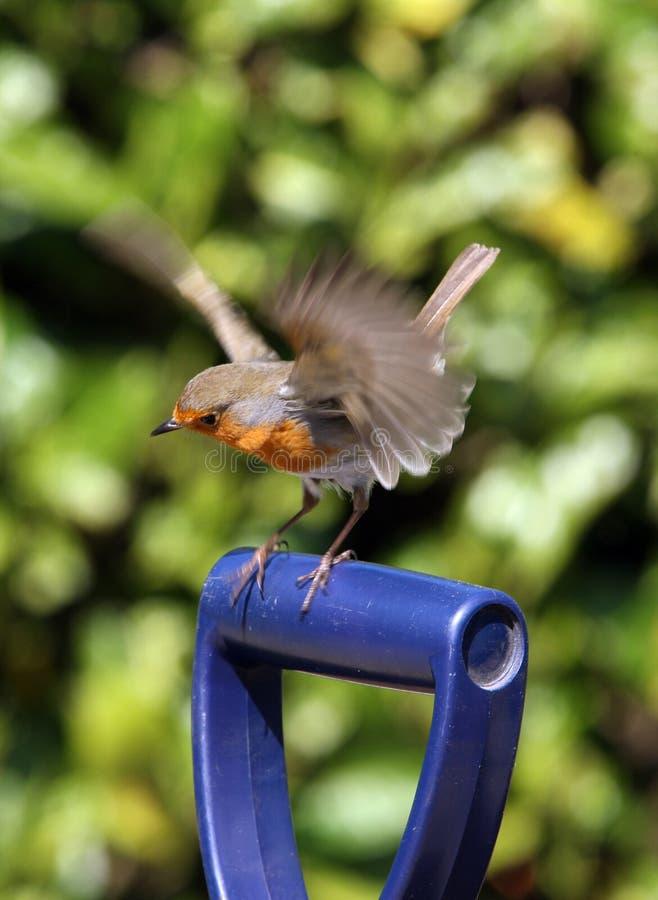 Robin stock fotografie