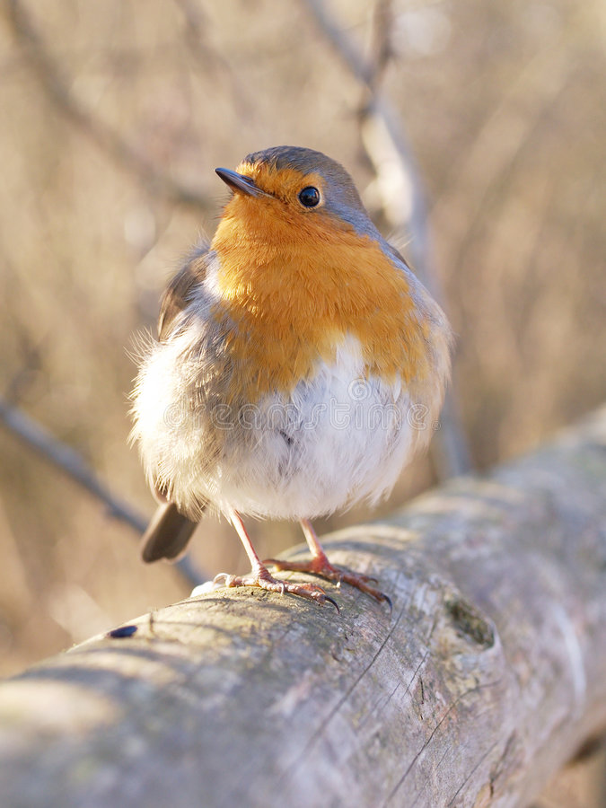 Download Robin stockfoto. Bild von tier, tiefe, federn, schnabel - 9082824