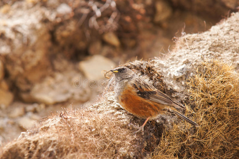 Robin Accentor - Prunella rubeculoides royalty free stock photos