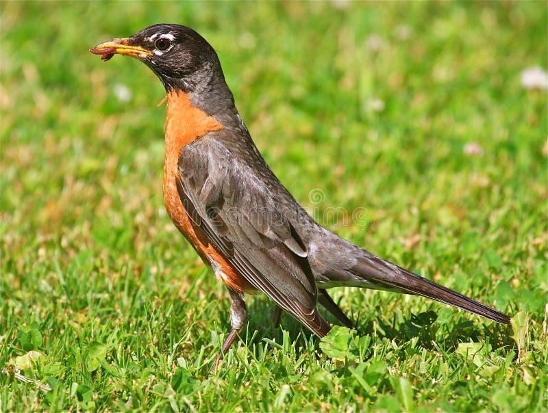 Robin americano immagine stock libera da diritti