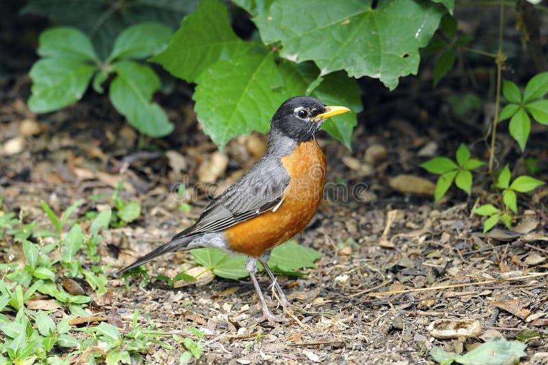Robin americano immagine stock