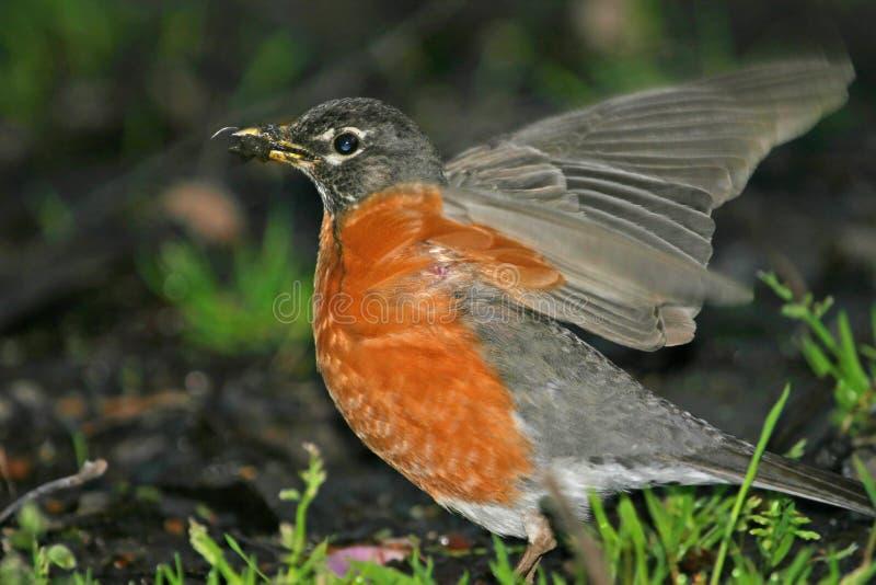 Download Robin amerykański zdjęcie stock. Obraz złożonej z ruch - 127936