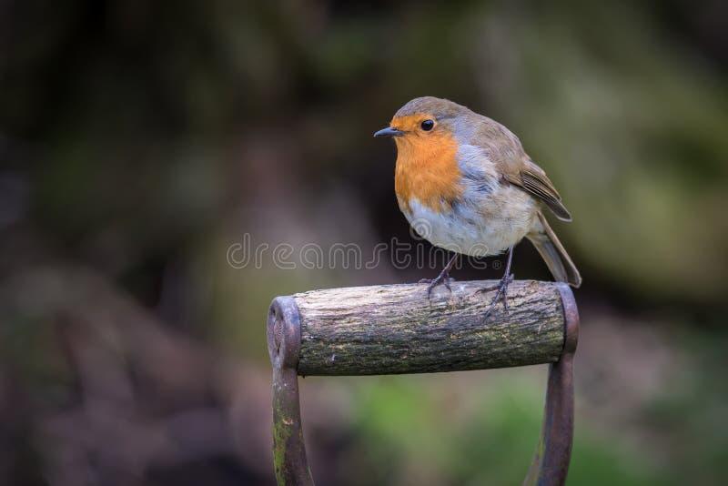 Robin appollaiato fotografia stock