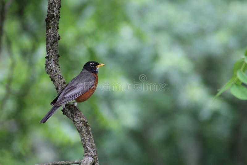Robin appollaiato Parte di destra-rivestimento fotografia stock