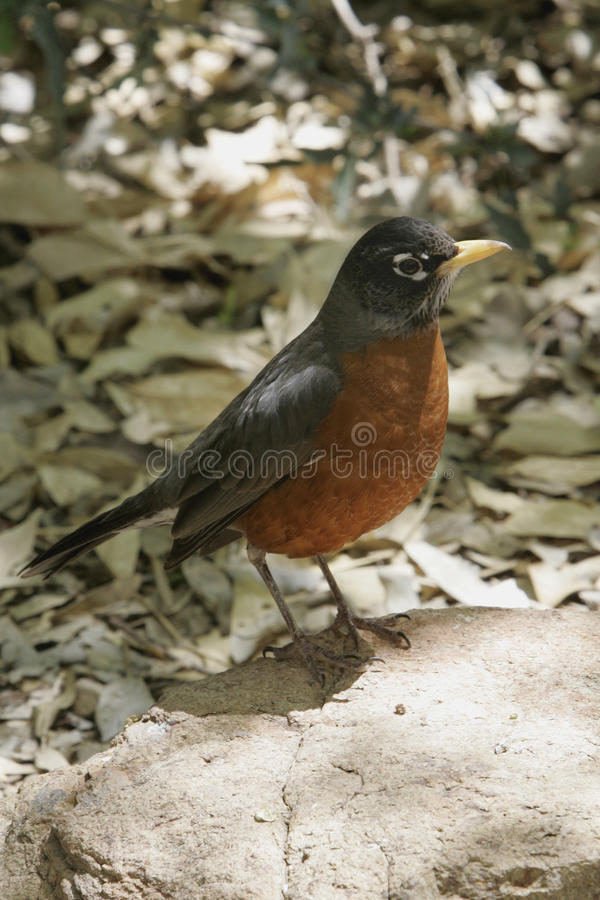 Robin au printemps images stock