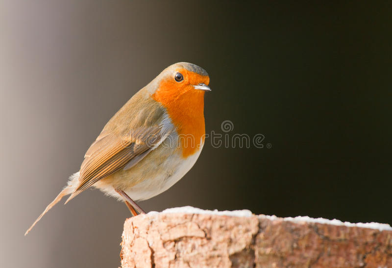 Robin auf einem forsty Protokoll lizenzfreie stockfotos