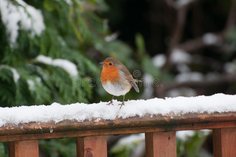 Robin auf einem schneebedeckten Zaun. stockbilder