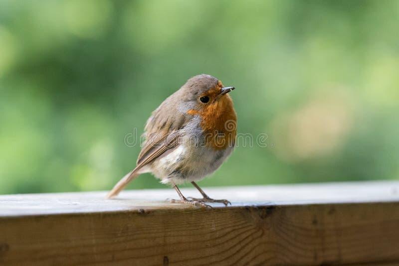 Robin auf hölzerner Schiene lizenzfreie stockbilder