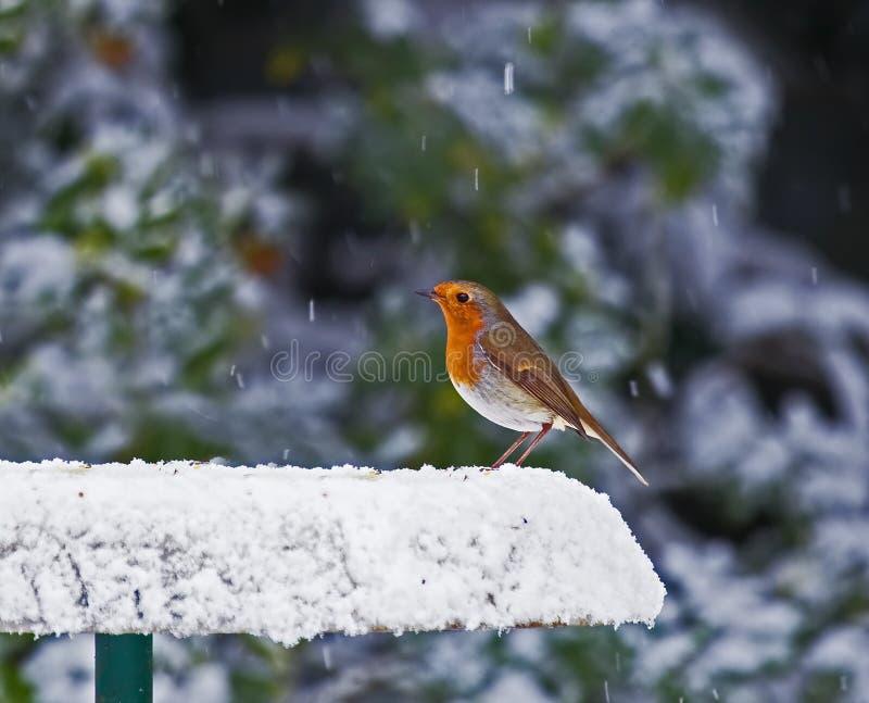 Robin auf schneebedeckter Zufuhr stockfotografie