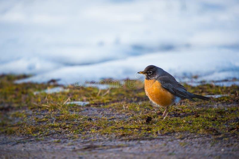 Robin aus den Grund, der nach Lebensmittel gräbt und sucht lizenzfreies stockfoto