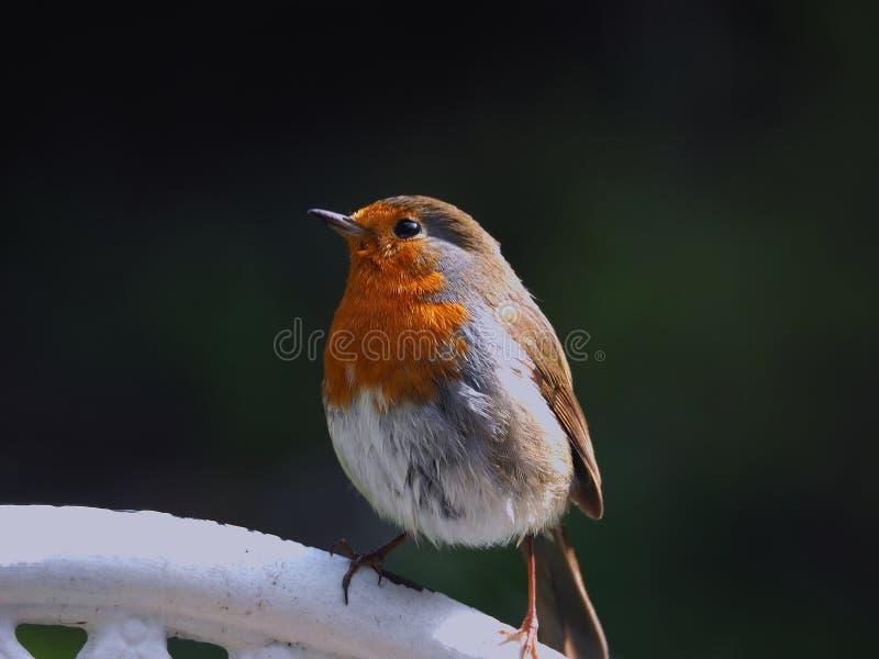 Robin avec une rouge-gorge photographie stock libre de droits
