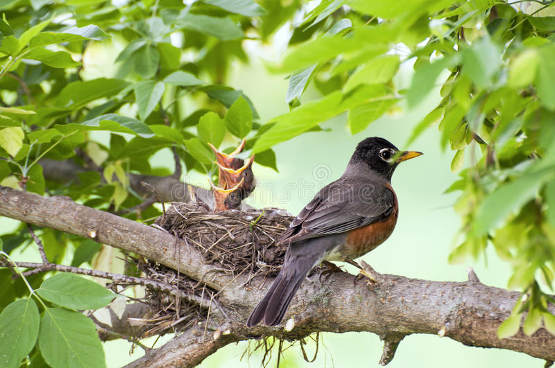 Spring baby birds. Mother Robin bird with baby birds in nest on a limb