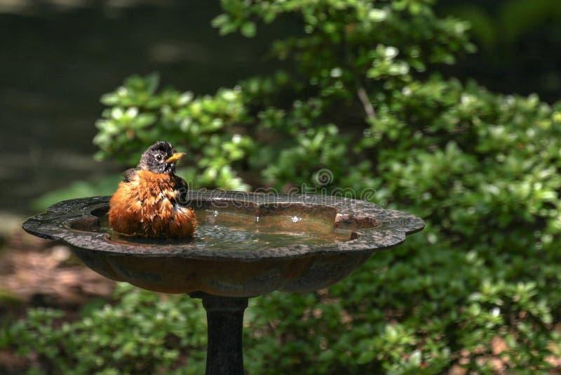 Robin bathing in the birdbath stock images