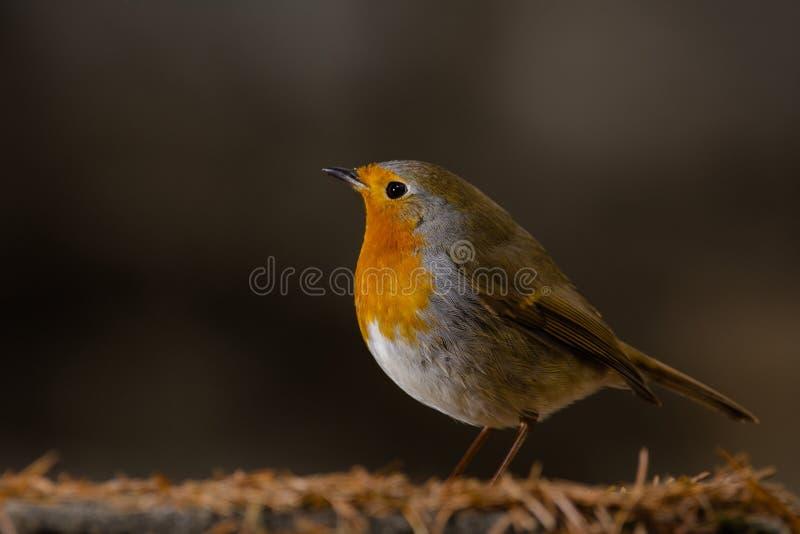 Robin Erithacus rubecula on the ground royalty free stock photos