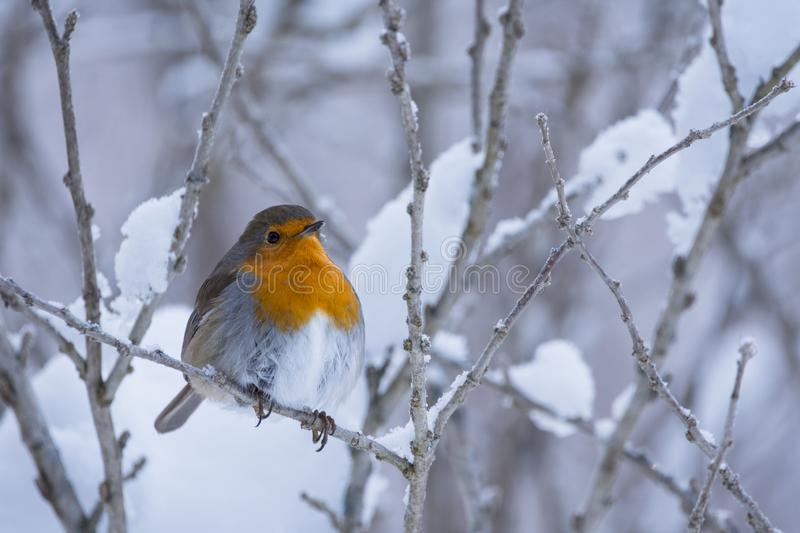 Robin Erithacus rubecula hanging on to a snowy branch stock photography