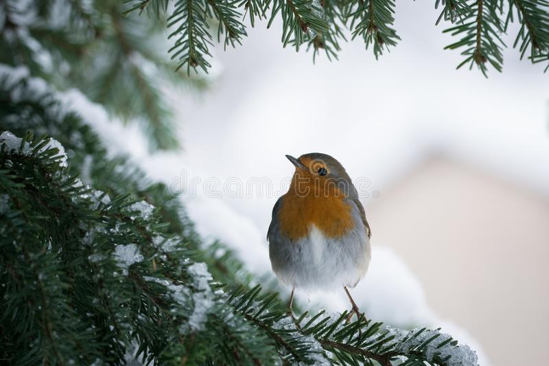 Robin Erithacus rubecula hanging on to a snowy branch of fir tree royalty free stock photos