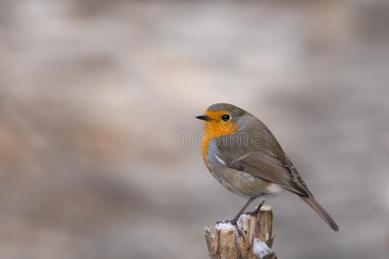 Robin Erithacus rubecula hanging on to a trunk royalty free stock photography