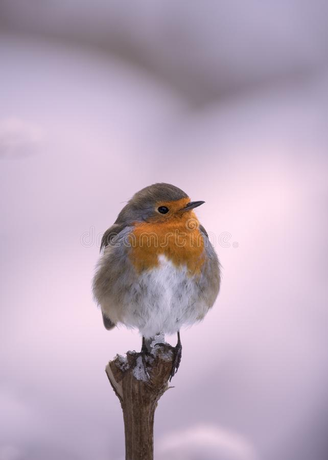 Robin Erithacus rubecula hanging on to a trunk royalty free stock photo