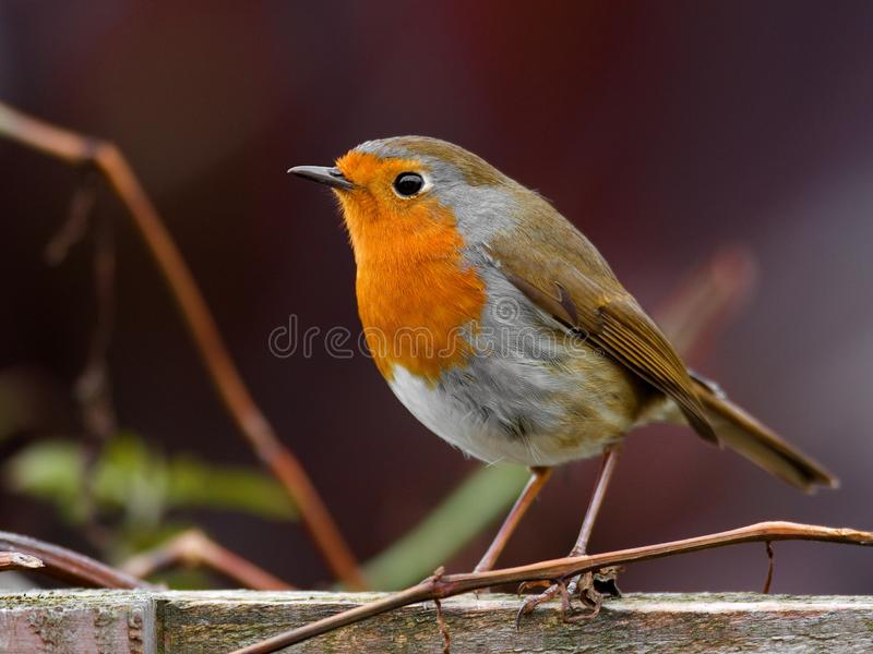 Download Robin bird stock image. Image of sharp, wildlife, fence - 18124775