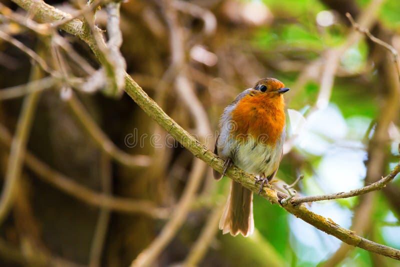 Robin Bird stock fotografie