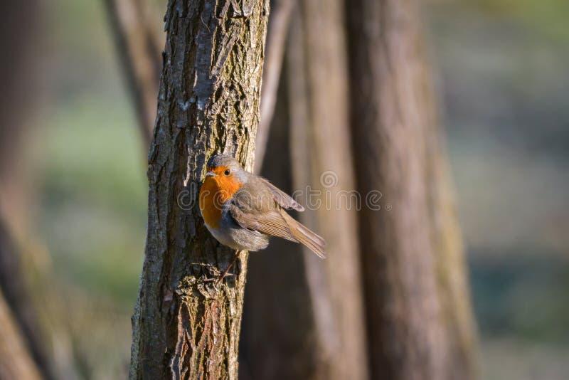 Robin Bird stockfoto