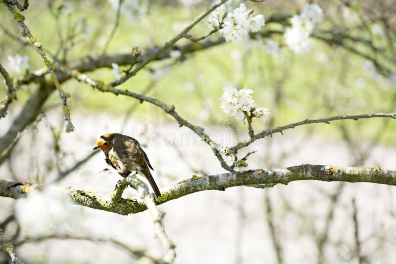 Robin Bird imagen de archivo libre de regalías