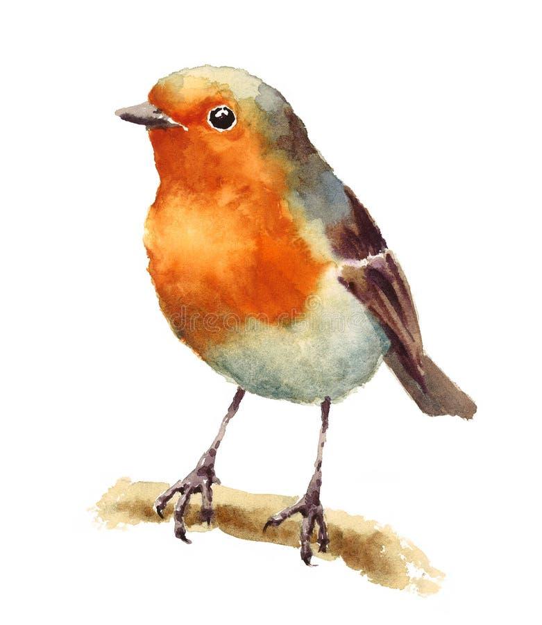 Robin Bird en el pintado a mano del ejemplo de la acuarela de la rama aislado en el fondo blanco ilustración del vector