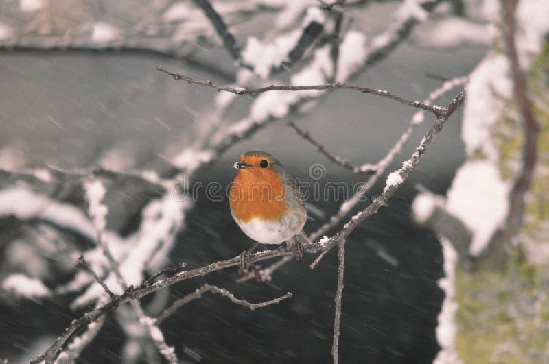 Robin Bird in the Falling Snow. A European Robin bird perches on a tree branch in snow Winter January 2019 stock photos
